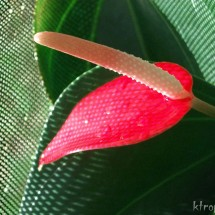 Fire Anthurium