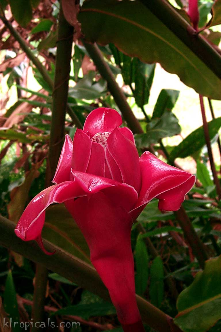 Kalani tropicals learn about ginger flowers torch ginger izmirmasajfo
