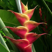 Heliconia Jungle
