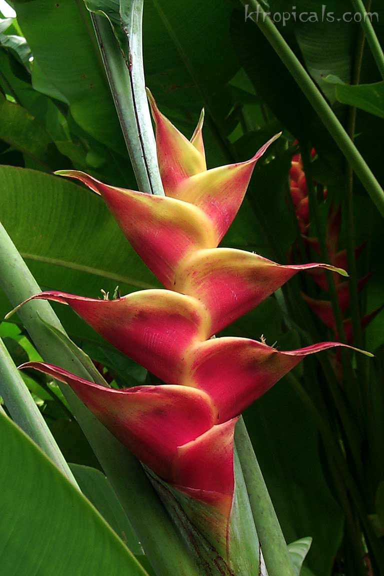Kalani Tropicals | Learn about Heliconia plants and flowers