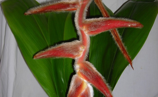 White Fur Vellerigera Pendent Heliconia in Bloom