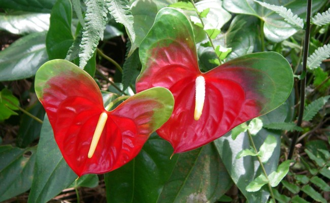In the Anthurium Shade House