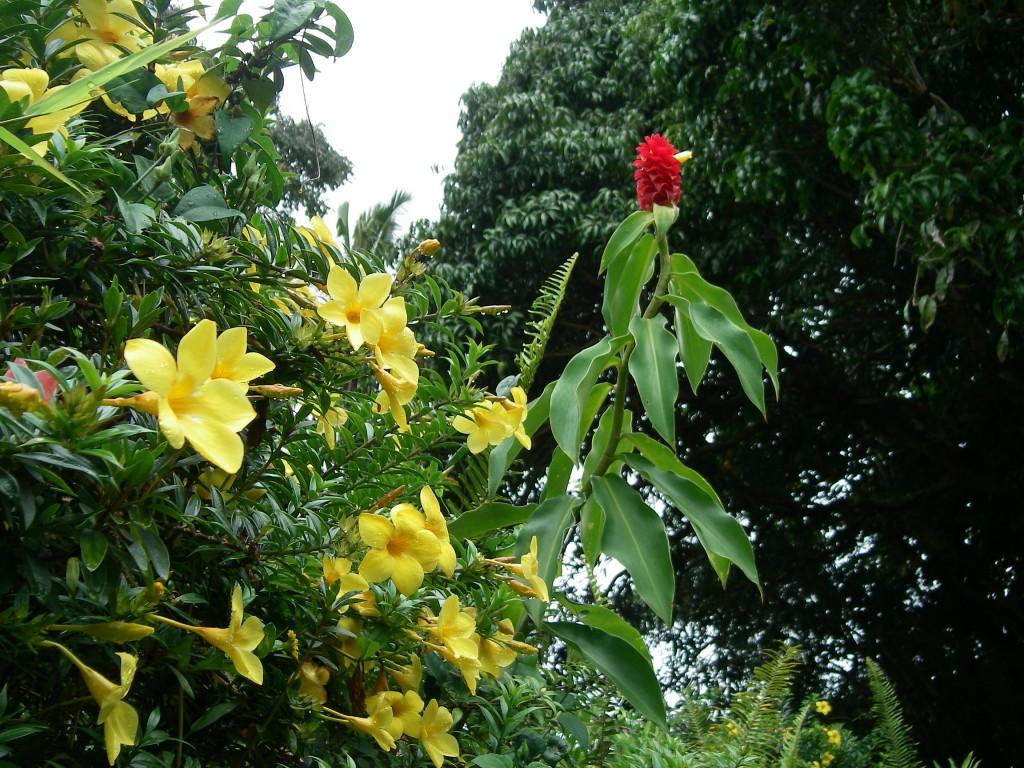 Costus Barbatus with Alamanda flowers