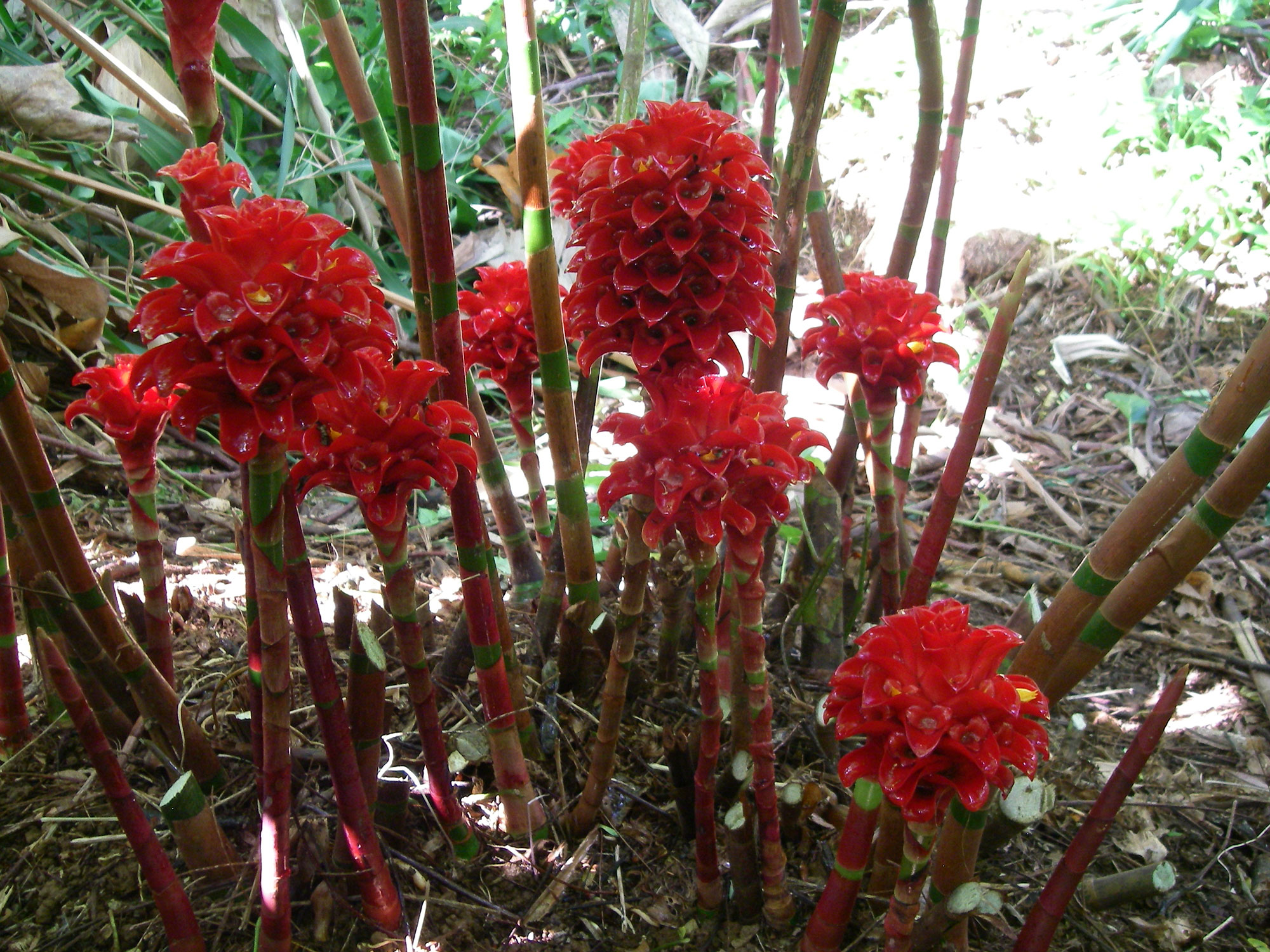 Indonesian wax ginger order tropical flowers direct from kauai indonesian wax ginger izmirmasajfo
