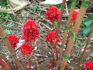 Kauai Indonesian Wax Ginger Bamboo Stems
