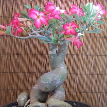Kauai Bonsai Club #1