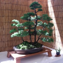 Kauai Bonsai Club #2