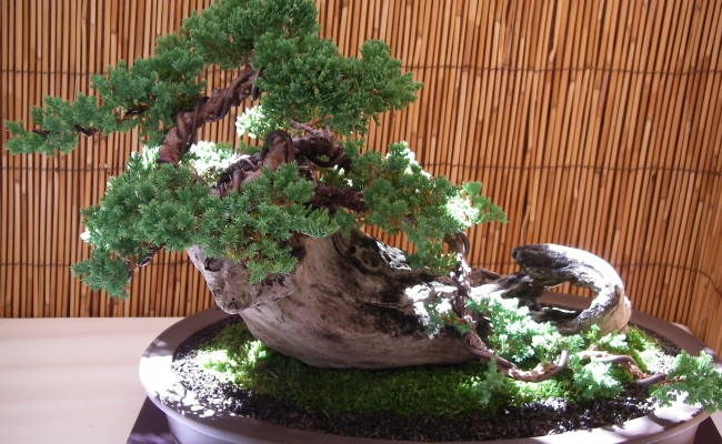 "The ""Living Art of Bonsai"""