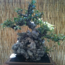 Kauai Bonsai Club #5