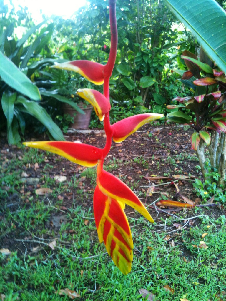 Close up of Rostrata 2 Ten Day Heliconia Flower
