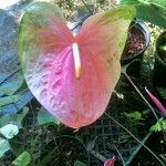 Coral Obake Anthurium Flower