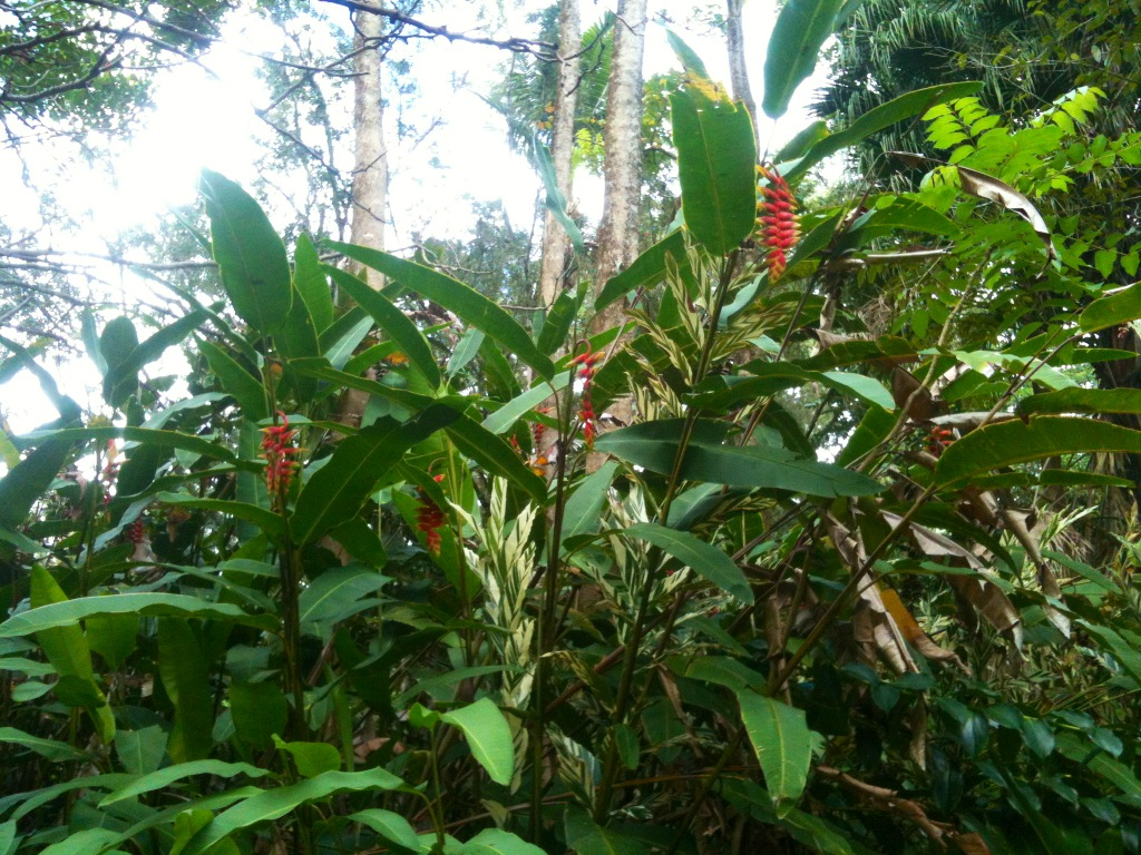 Patch of Giant Rostrata Heliconia Flowers