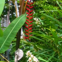Longissima Red Wings Pendent Heliconia