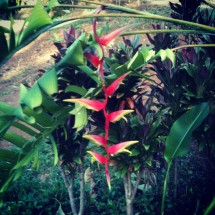 Long Temptress Pendent Heliconia Flower