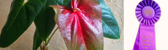 Our Obake Anthuriums