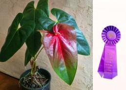 Madame Pele Best in Show Award Kalani Tropicals Anthurium Plant