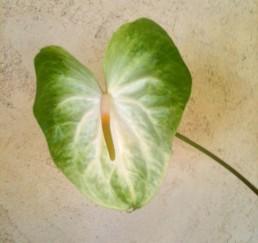 Mauna Loa Anthurium Flower