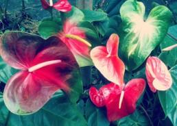 Obake Group Anthurium Flower Bouquet