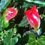 Oshiro Red and Kalapana Anthurium Flowers