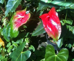 Oshiro Red and Kalapana Anthurium Flowers