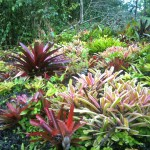 Bromeliad garden close up
