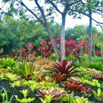 Bromeliad garden with Red Ti background