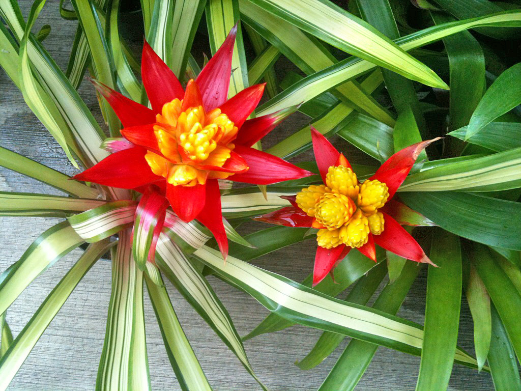 Learn about Bromeliads Order Tropical Flowers Direct from Kauai Hawaii