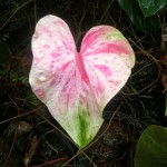 Splash Anthurium Flower