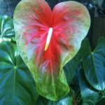 Tropic Sunrise Anthurium Flower