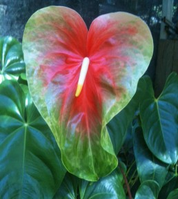 Tropic Sunrise Anthurium Flower