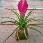 Volcano Plant Sandy Cyanea Bromeliad