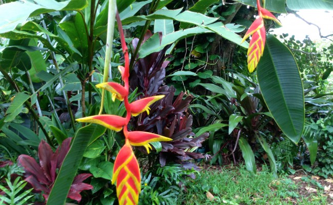 "Pendent Heliconia ""Rostrata Ten Day"""
